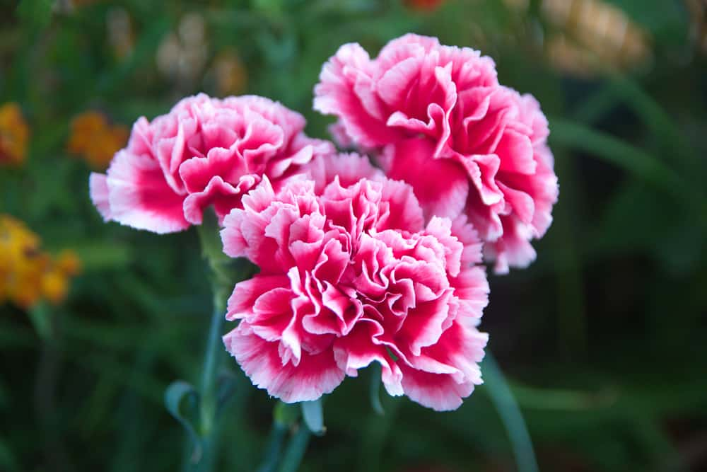 Close-up of carnation flowers with large, ruffled petals against its deep green foliage.