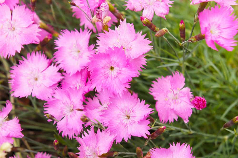 A field of cheddar pink plants with serrated blossoms and strappy leaves.