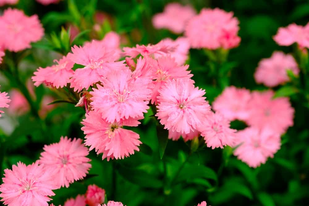 A field of China pink flowers in full bloom with bright green leaves.