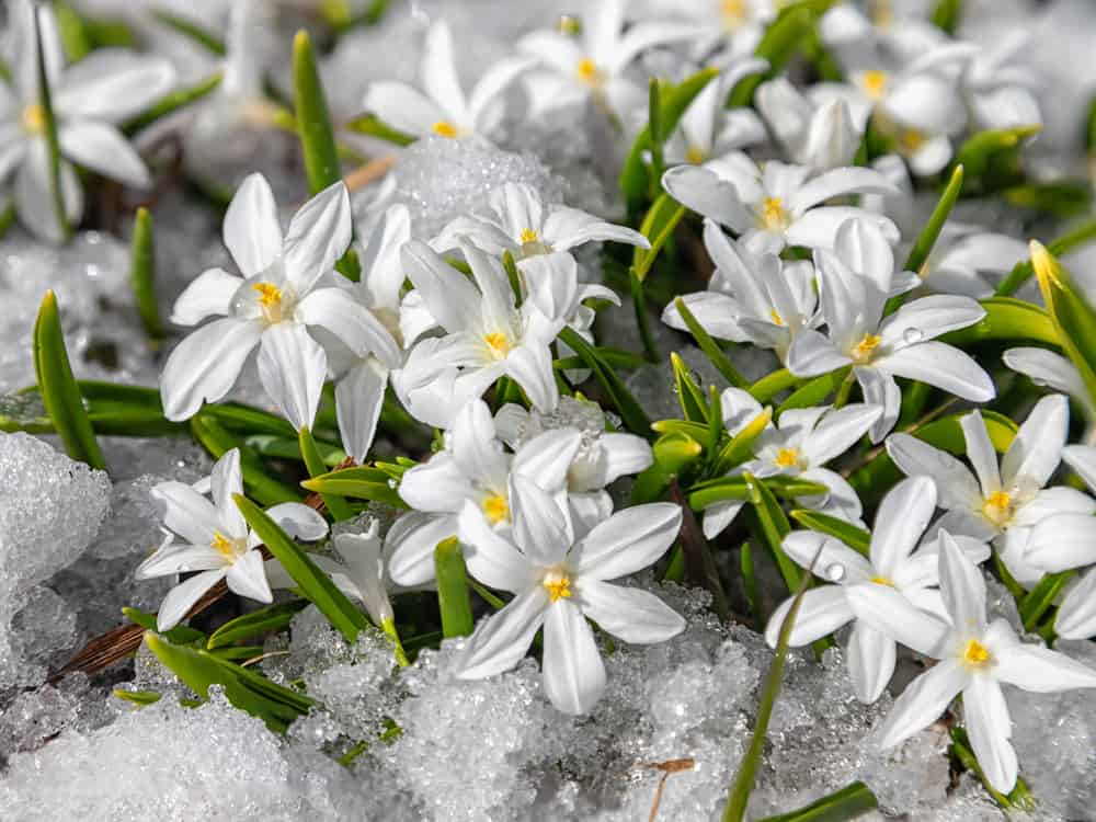 Chionodoxa white flowers blooming on top of snow.