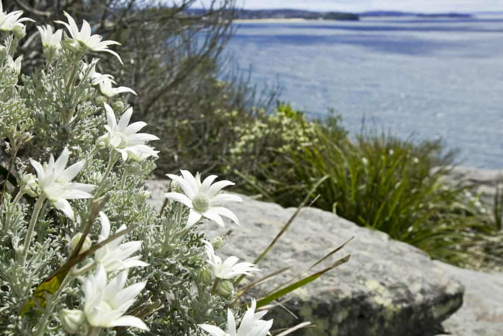 Wild and lovely white flannel flowers growing on coastal heath in the sunshine in Australia