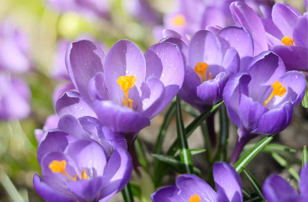 Close-up of crocus flowers with dainty, purple petals and yellow stamens.