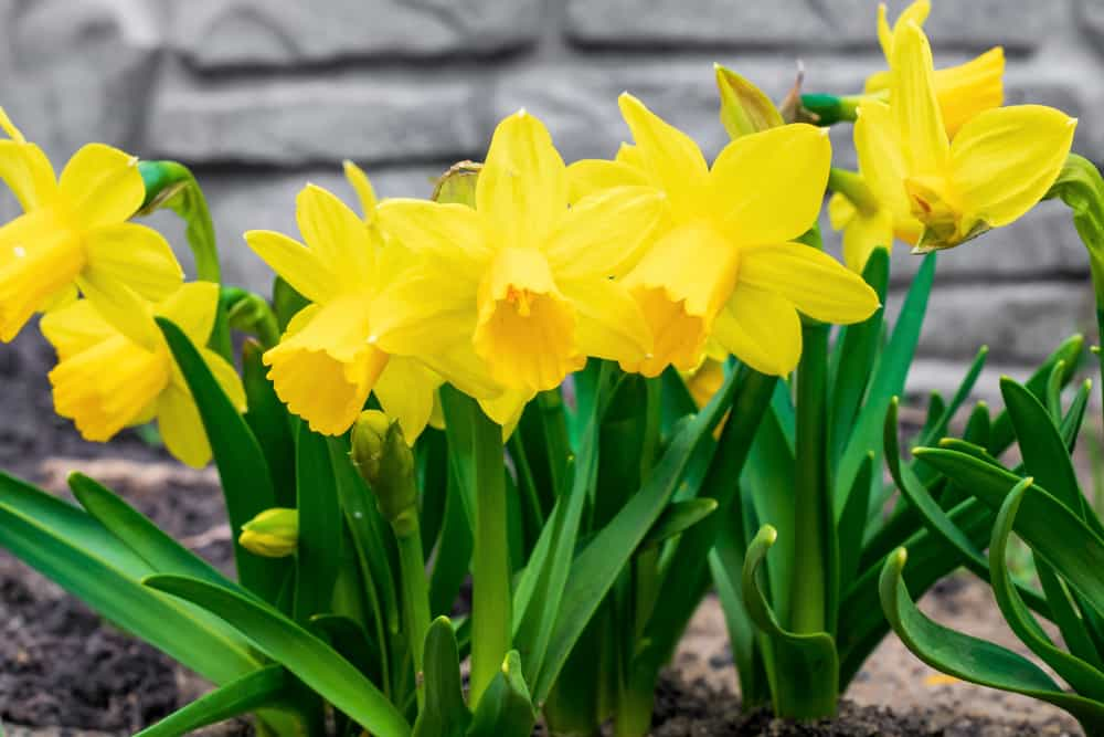 Bright yellow blooms of daffodils growing in a spring garden.
