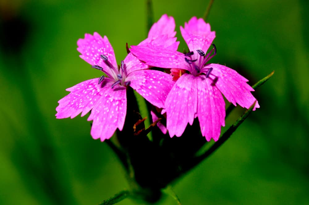 Macro shot of Deptford pink blooms with dark stamens against blurry foliage.