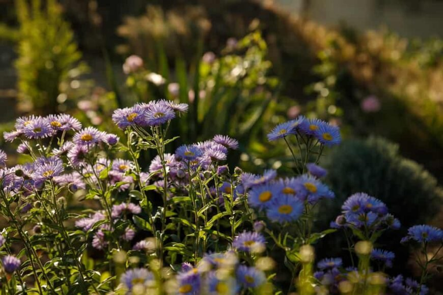 Beautiful light violet fleabane flowers of the erigeron plant growing at the ends of flower stems in the sun