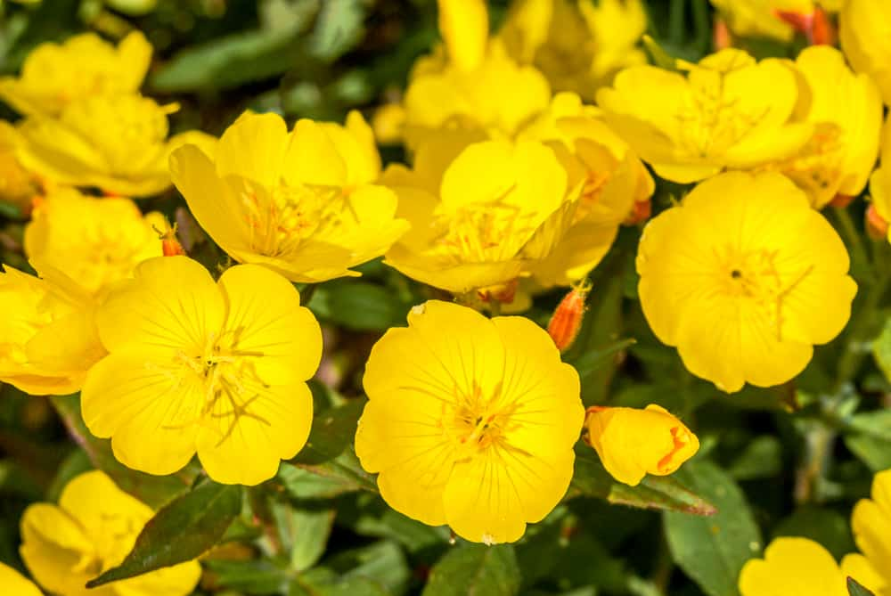 Beautiful cluster of bright yellow evening primrose flowers in bloom in the evening sun