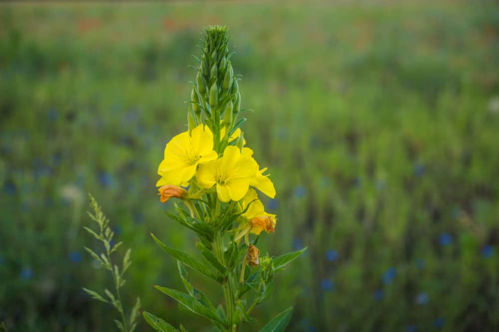 Amazing wild evening primrose flower spike blooming at dusk with wild blue flowers in the background