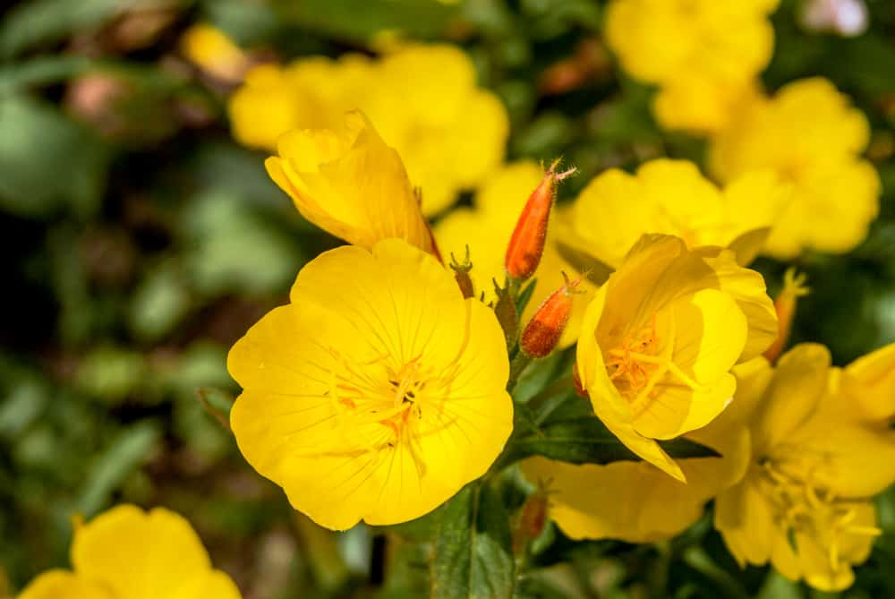 Focus image of blooming evening primrose flowers with yellow petals and cross shaped anthers