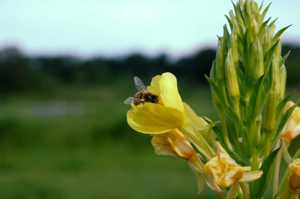 Large honey bee visiting the just opened blossom of an evening primrose flower