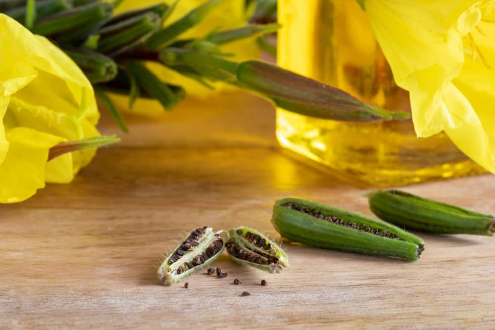 Large young seed capsules containing multiple seeds of the evening primrose sitting on a wooden table next to bottle of evening primrose oil