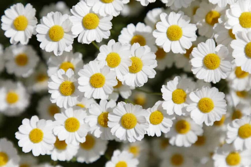 Looking down at the bright and happy flower heads of a feverfew plant with white ray florets and yellow disc centres