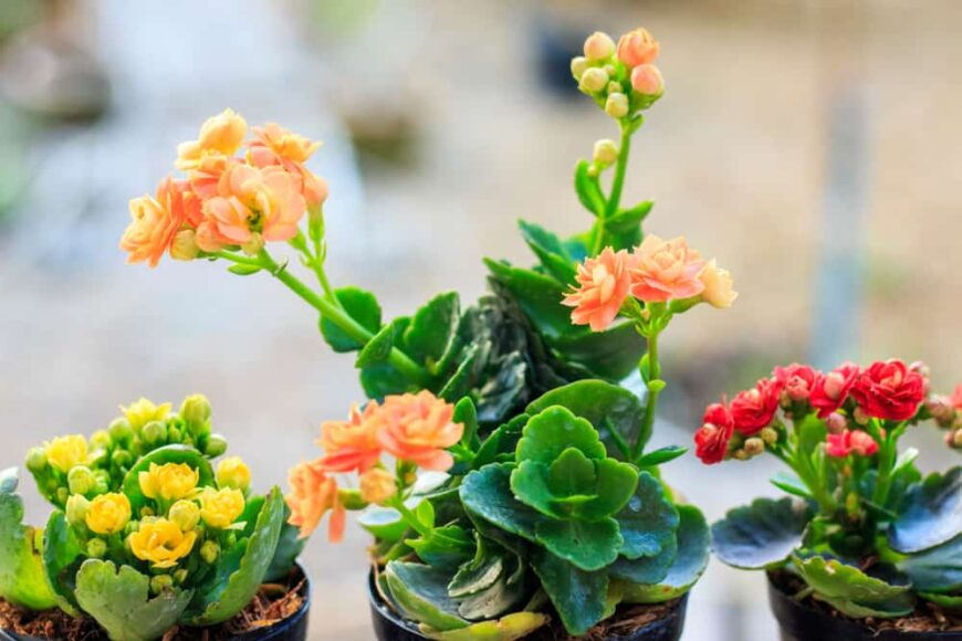 Three different kalanchoe plants with bright orange red and yellow flaming katy flowers growing in small pots in full bloom