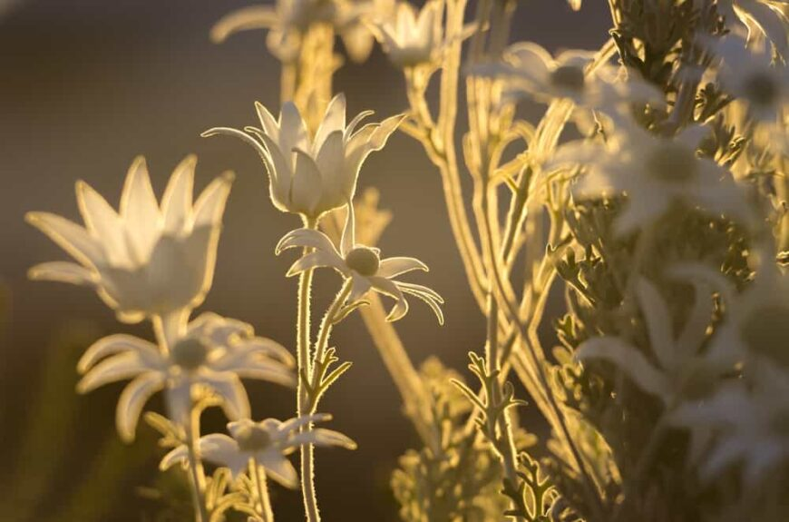 Beautiful fuzzy leaves and flowers of the flannel flower plant illuminated by the afternoon sun