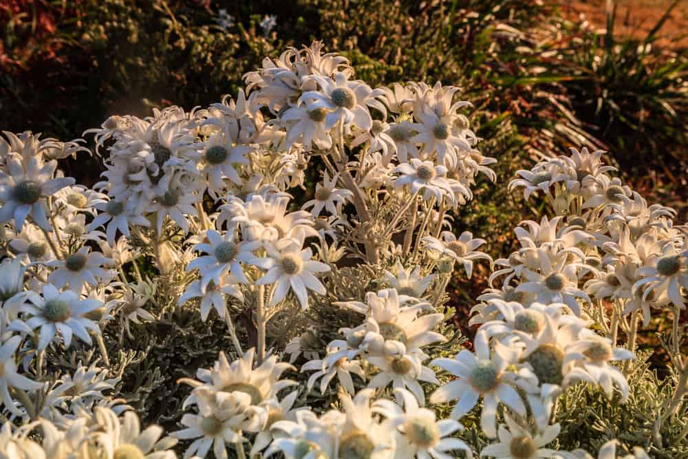 Amazing garden patch filled with blossoms of the flannel flower plant glowing in the sunset