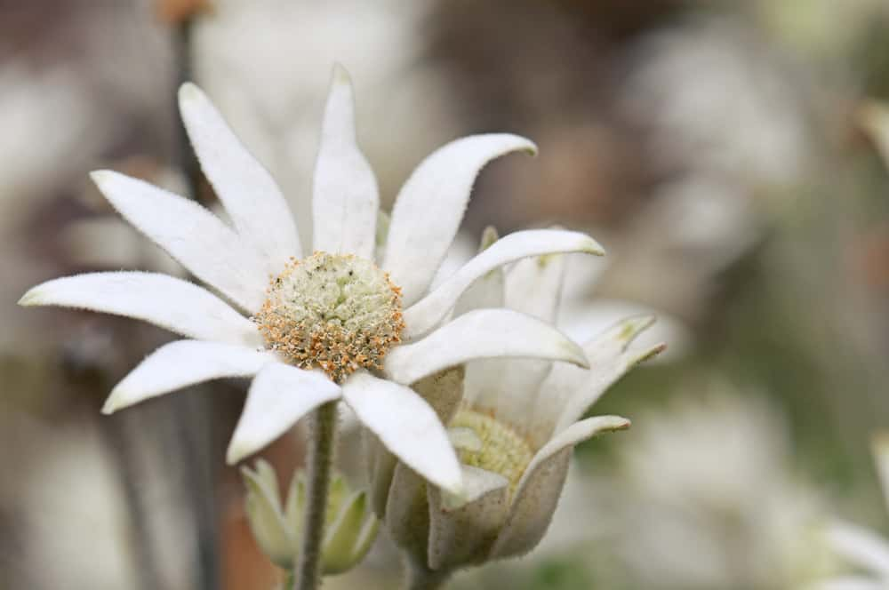 Macro image of a single flannel flower head with white petals and fuzzy stems