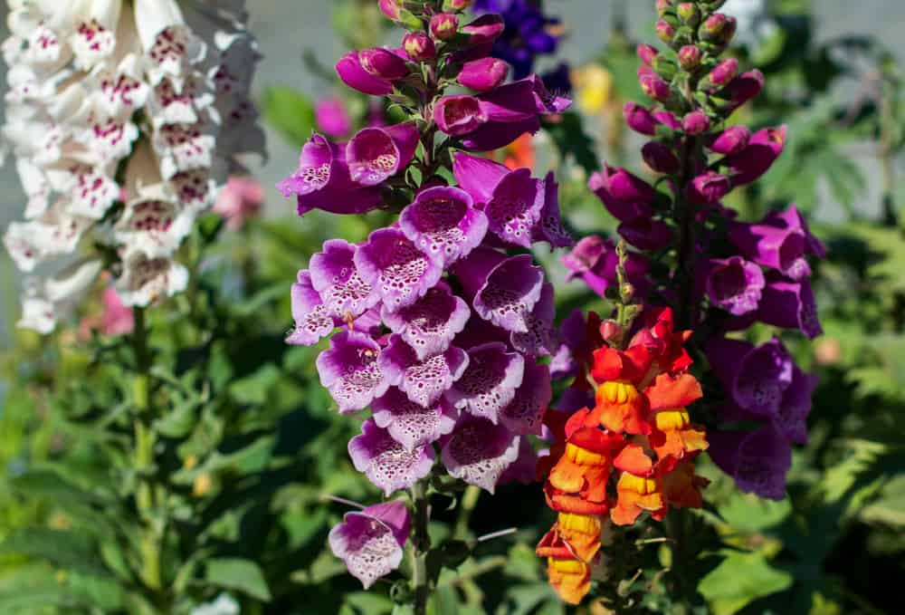 Colorful foxgloves in purple, white, and orange hues growing in a summer garden.
