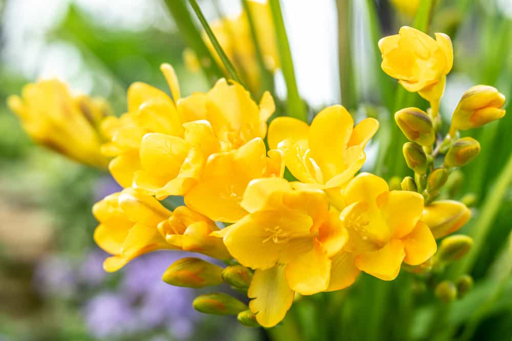 Close-up of freesia with clusters of yellow blooms against its strappy leaves.