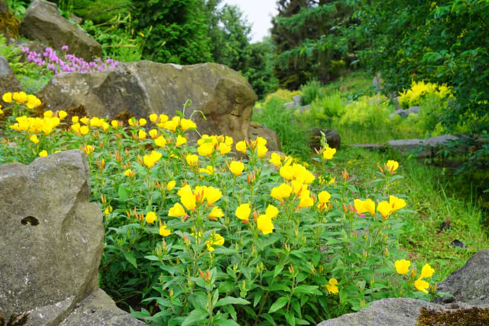 Lovely ornamental garden with large boulders surrounding a prosperous evening primrose patch of yellow blossoms