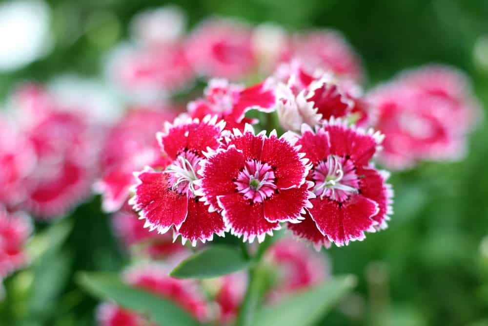 Garden pink blooms with deep pink serrated petals graced with white trims and light pink centers.