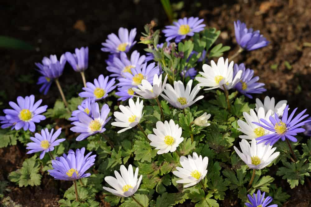 Grecian windflowers with blue and white blossoms growing in a spring garden.
