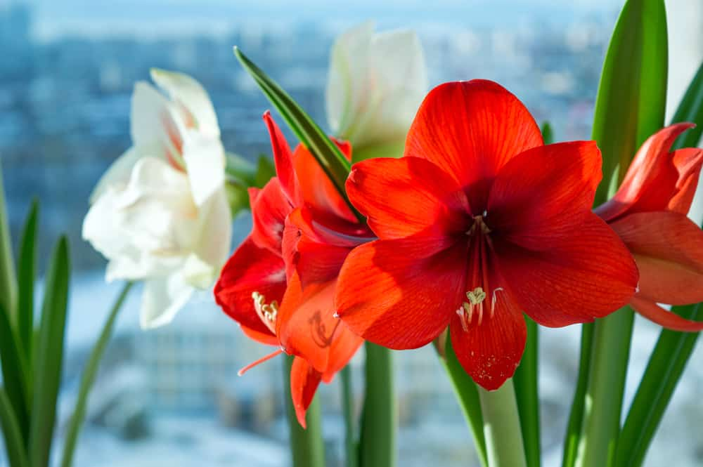 Close-up of hippeastrum plant with red and white blossoms along with elongated leaves.