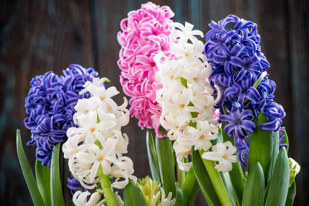 Hyacinth blooms in a spring garden with purple, white, and pink hues.
