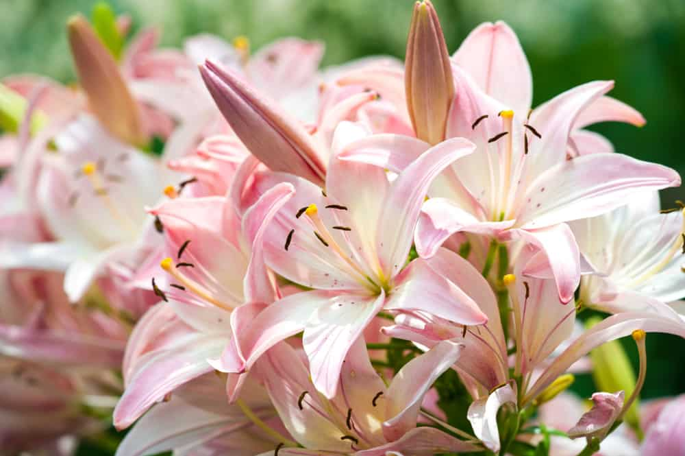 Close-up of lilies of with large, pink blossoms and long stamens against a blurry background.