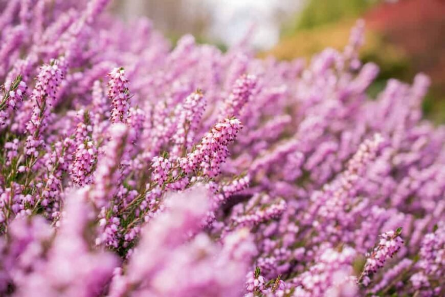 Long stems holding many clusters of bright pink heather flowers of the erica shrub