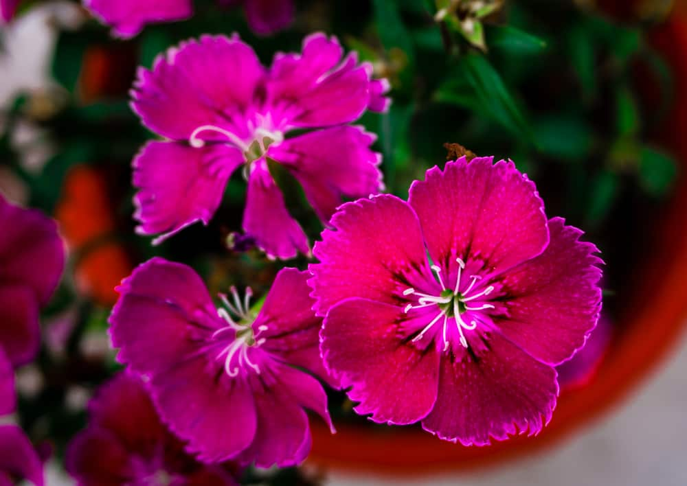 Macro photo of maiden pink blooms with serrated petals growing in a large pot.
