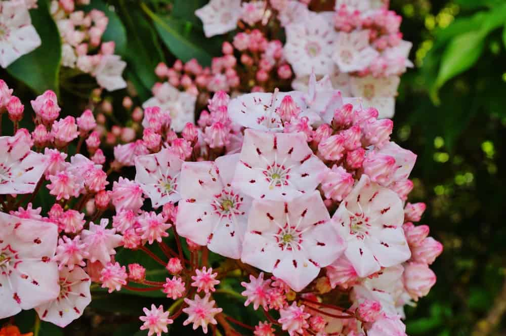 Mountain laurel blooms with pale pink petals and burgundy stalks.