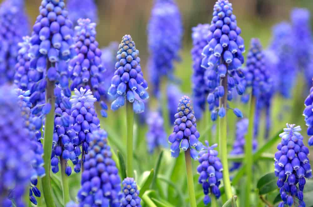 A field of muscari with clusters of tiny, blue blossoms resembling grapes.