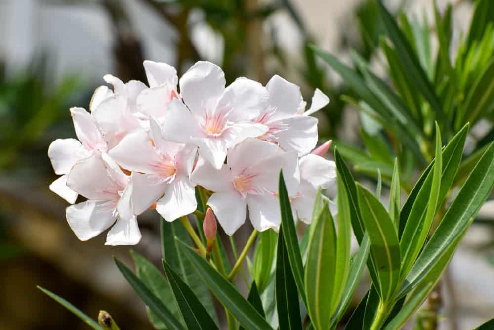 Oleander plant with large, pink flowers and long, green foliage.