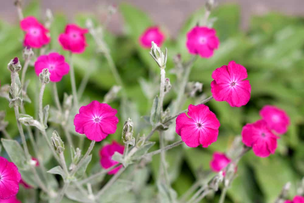 Rose campion with small, magenta blooms and frosty light green leaves.