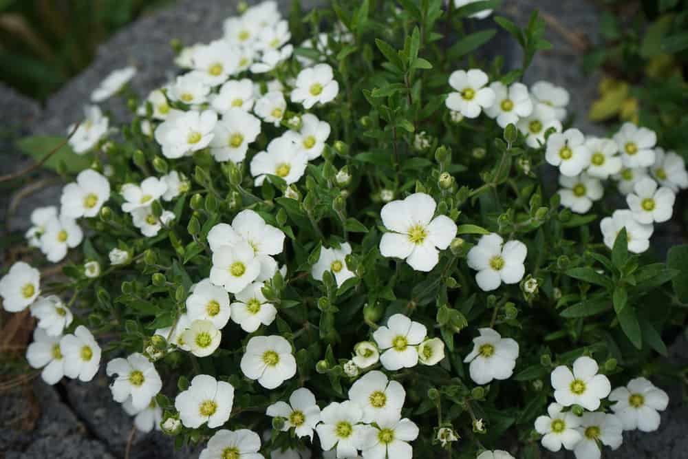 Sandwort plants with masses of delicate, white blooms growing in a rock garden.