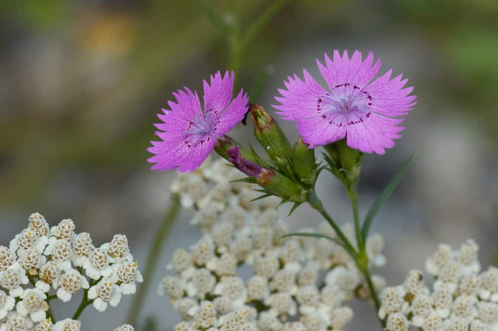 Close-up of  Seguier's Pink blooms with ruffled petals against clustered white flowers.