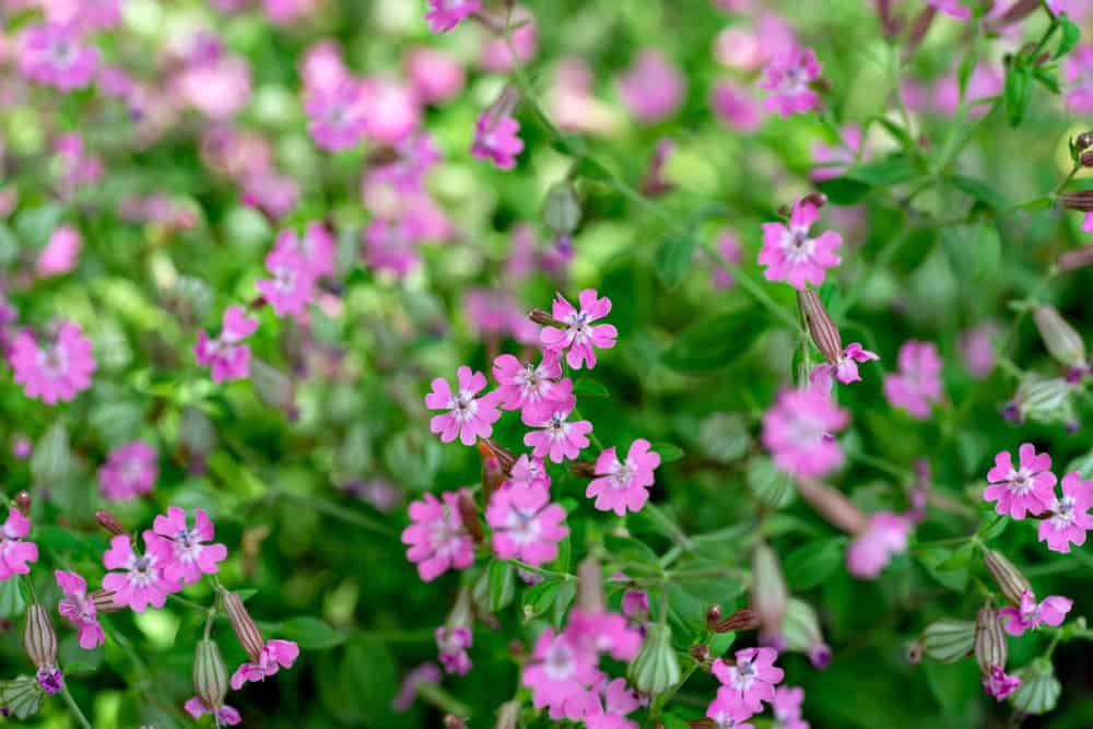 Tiny, pink blossoms of silene growing in a garden.