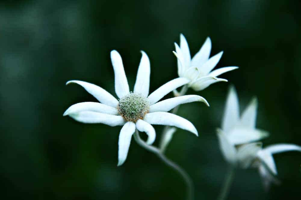 Focus on a single flannel flower with thin white petals and a fuzzy stem against a blurred dark green background