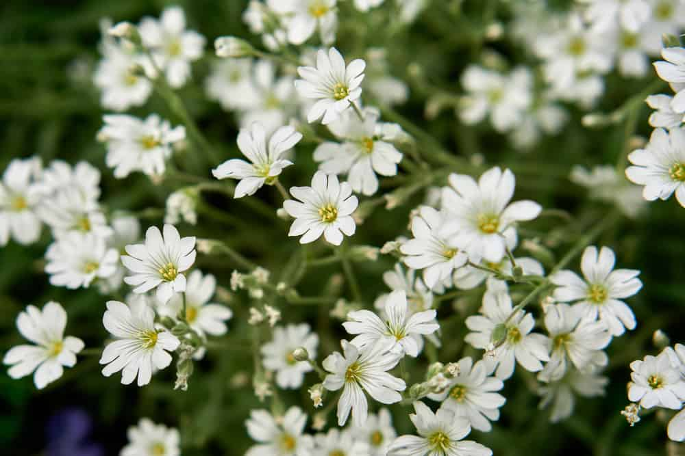 Snow-in-summer plant with masses of small, white flowers.