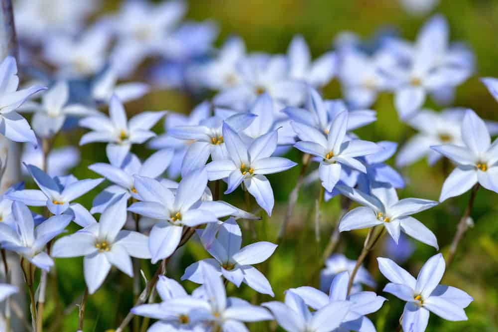 A field of spring starflowers with pale blue blossoms in full bloom.