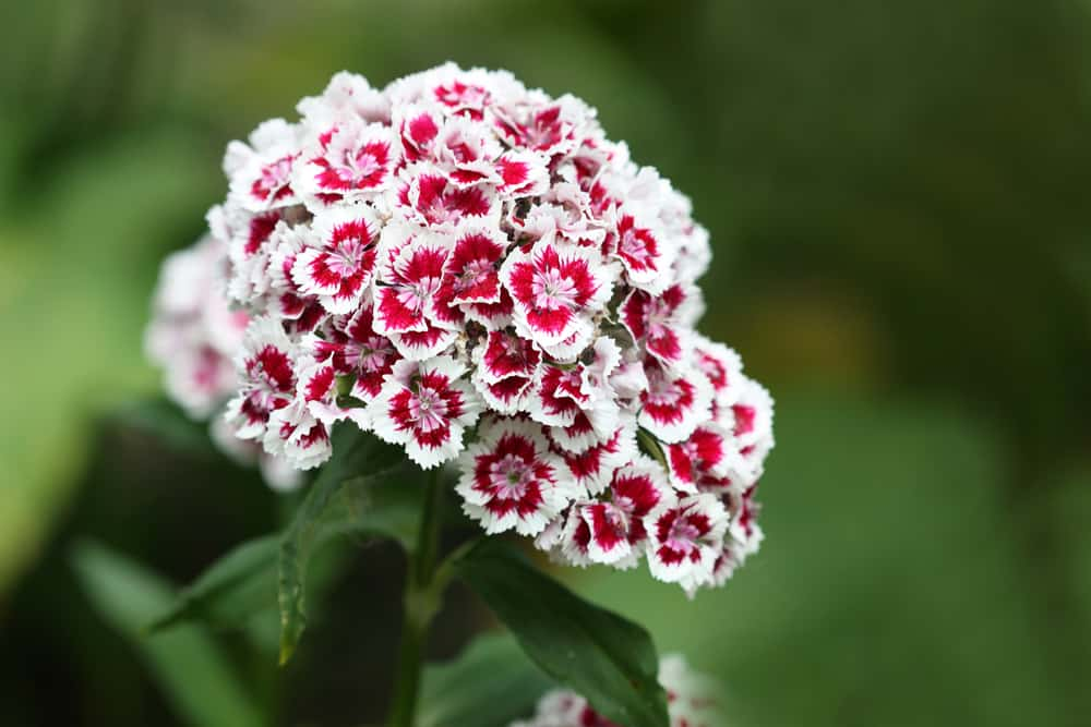 A cluster of sweet William blooms with serrated petals in white and red hues.