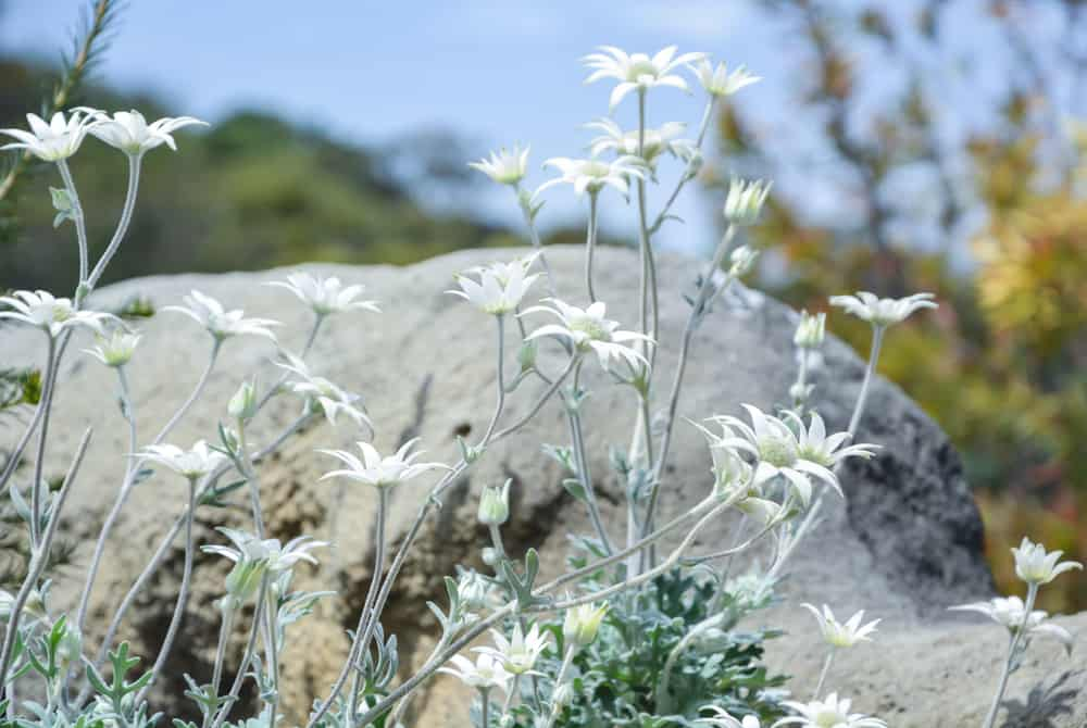 Tall and leggy fuzzy stems of the flannel flower plant with white flower blossoms growing wild next to a boulder