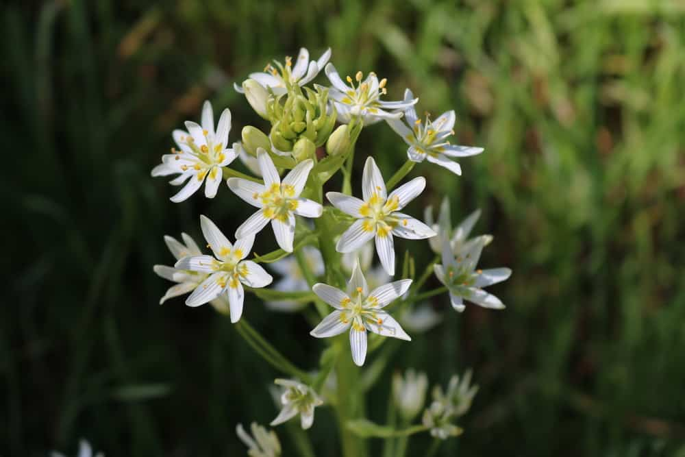 Macro photo of tuberose white blooms against the blurry grass.