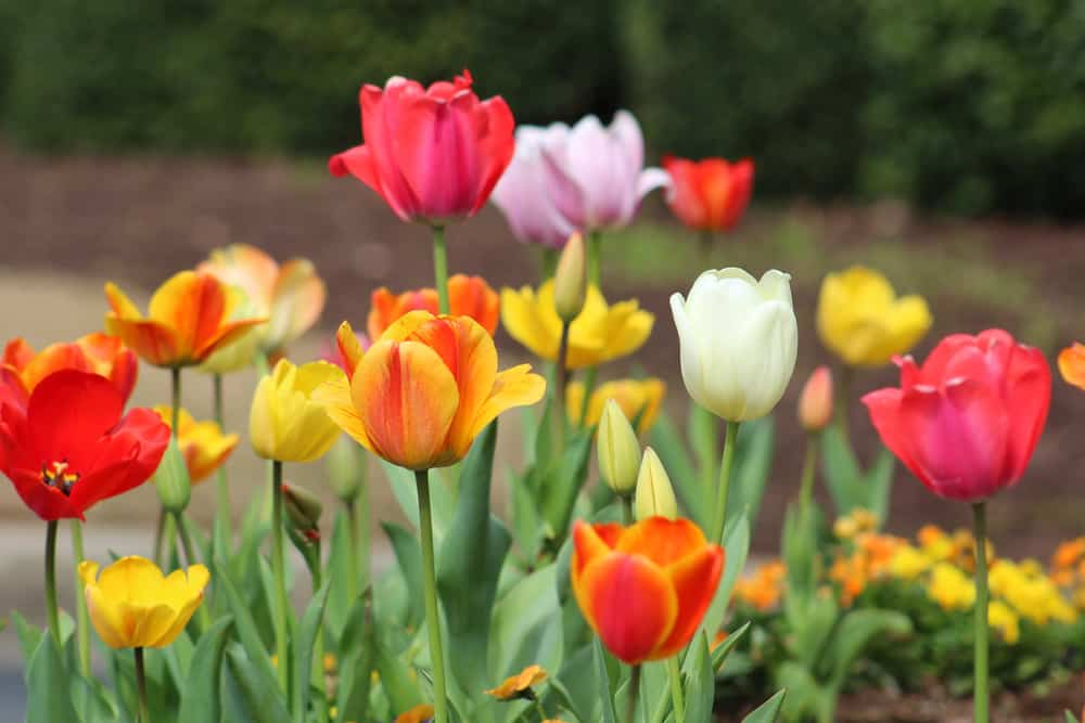 Blooming tulips in a spring garden with orange, yellow, pink, and white hues.
