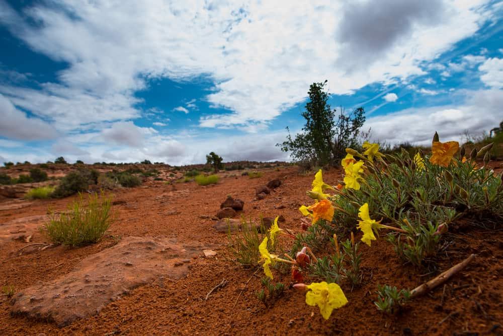 Wild cluster of evening primrose flowers growing in a dry arid landscape of Utah with blue skies