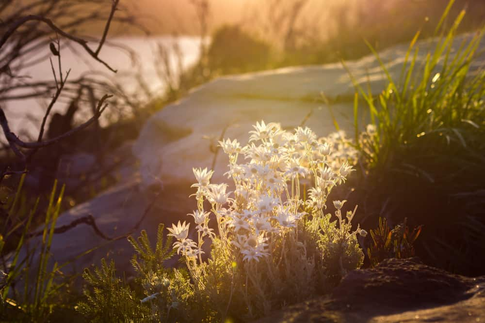 Gorgeous image of a cluster of wild flannel flower plants illuminated by the sunshine growing by a boulder on a coastal heath