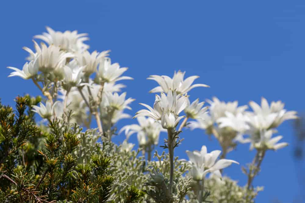 Lovely cluster of white flannel flowers growing wild against the striking blue sunny sky