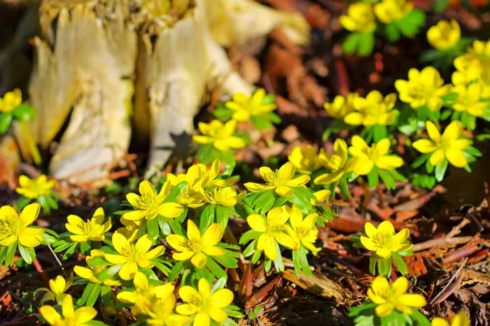Yellow winter aconites in full bloom against a forest stump.