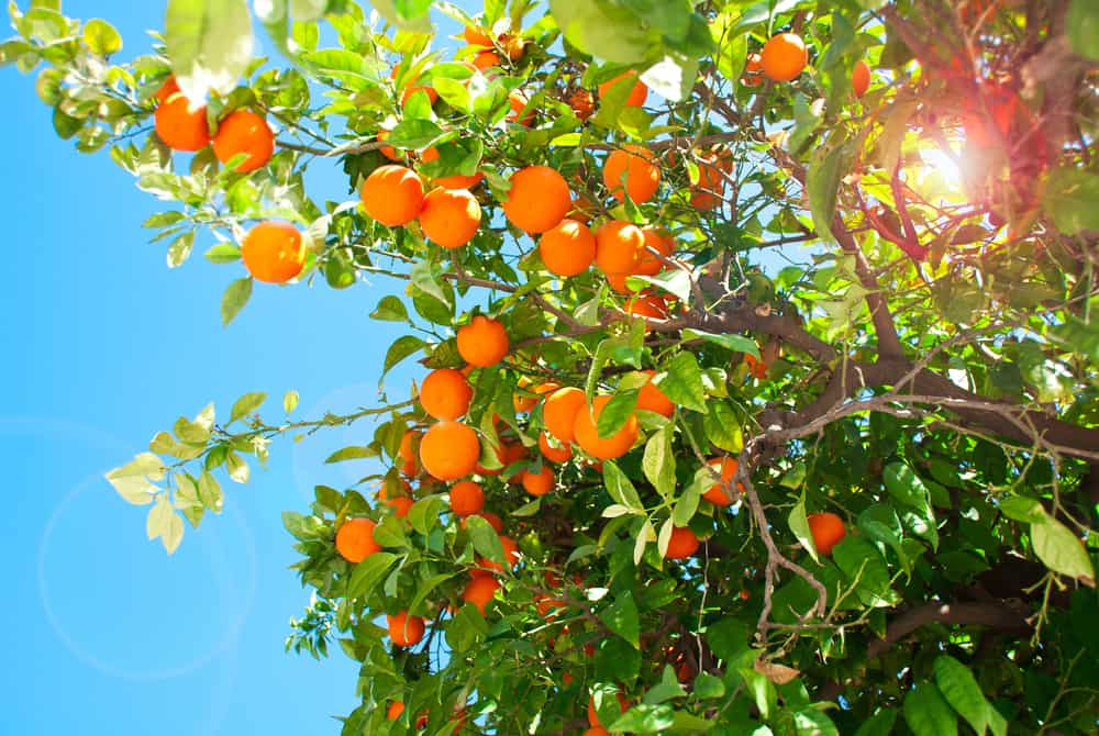 This is a close look at ripe Seville oranges ready to be harvested.