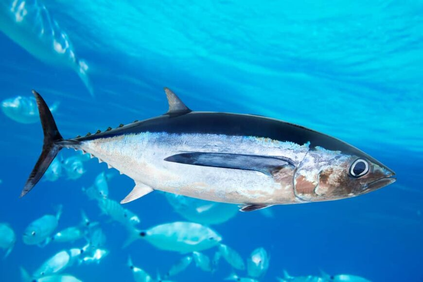 This is an albacore tuna fish with an underwater background.