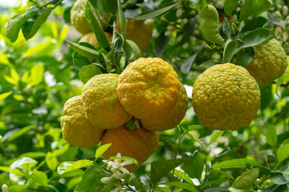 There are ripe Bergamot oranges ready to be harvested from the tree.